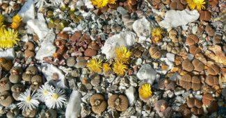 Gyvieji akmenys – litopai (lithops)