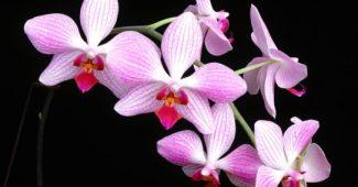 Orchidėjų rūšys