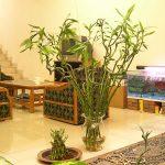Sėkmės bambukas